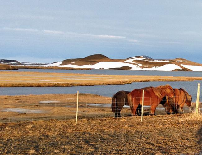 Icelandic horses grazing near Akureyri in January 2013.